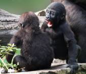 Gorilla yongsters playing — Stock Photo