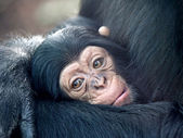 Baby chimp — Stock fotografie