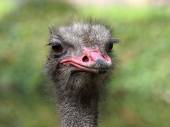 Portrait of an Ostrich — Stock Photo