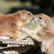 Prairie Dogs Kissing — Stock Photo #61988035