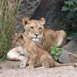 Постер, плакат: Lioness and cub