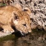 Lion cub — Stock Photo #61989195