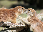 Prairie Dogs Kissing — Stock Photo