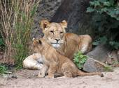 Lioness and cub — Stock Photo