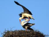 Couple of storks on the nest — Stock Photo