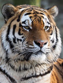 Siberian (Amur) tiger. — Stock Photo