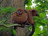 Red bellied lemurs — Stock Photo