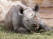 Portrait of a young rhino — Stock Photo