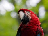 Green-winged macaw - Ara chloroptera — Stock Photo