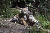 Playing tiger cubs — Stock Photo