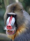 Portrait of the adult mandrill — Stock Photo