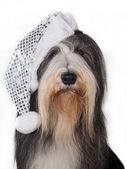 Christmas Bearded Collie in hat — Foto de Stock
