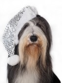 Christmas Bearded Collie in hat — Stock Photo