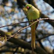 Green ring-necked parakeet — Stock Photo #62106375