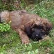 Briard puppy lying on grass — Stock Photo #62108845