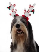 Christmas Bearded Collie — Stock Photo