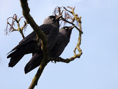 Two jackdaws sitting on tree branch — Stock Photo