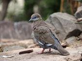 Desert Dove close up — Stock Photo