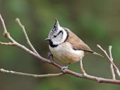 Crested Tit sitting on tree branch — Stock Photo