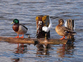 Ducks on log in water — Stock Photo