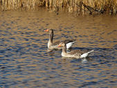 Grey Geese in water — Stock Photo