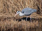 Blue heron in marsh — Stock Photo