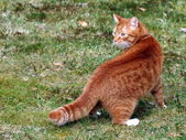 Red cat looking over shoulder — Stock Photo