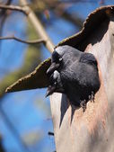 Jackdaw in nest box — Stock Photo