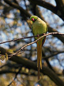 Green ring-necked parakeet — Stock Photo