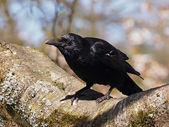 Crow sitting on tree — Stockfoto