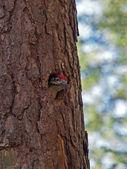 Woodpecker in nest in tree — Stock Photo