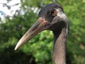 Close up of crane bird — Zdjęcie stockowe