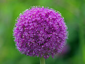 Close up of onion flower — Stock Photo