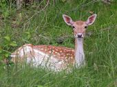 Fallow deer lying in grass — Stock Photo