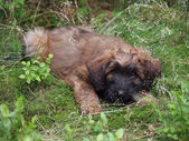 Briard puppy lying on grass — Stock Photo