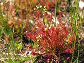 Sundew flower — Stock Photo