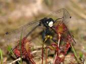 Dragonfly trapped in sundew — Stock Photo
