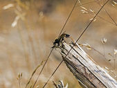 Robber fly with prey — Stock Photo