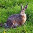 Hare on grass in the field — Stock Photo #62111609