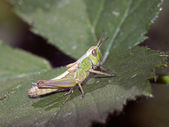 Close up of Grasshopper on leaf — Stock Photo