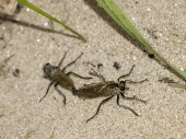 Mating robber flies — Stock Photo
