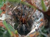 Tunnel spider in spiderweb — Stock Photo