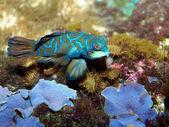 Close up of mandarin fish — Stock Photo