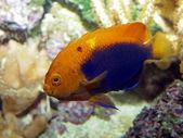 Close up of orange Fish — Stock Photo