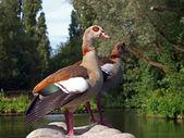 Nile geese on stone in water — Zdjęcie stockowe
