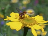 Bee on yellow flower — Stock Photo