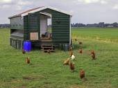 Chickens near building  in the field — Stock Photo