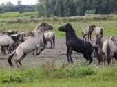 Fight of Konik horses — Stock Photo