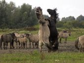 Fight of Konik horses — Stock Photo