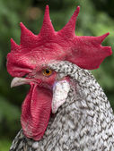 Portrait of a Beautiful Rooster on nature — Stock Photo